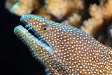 A Moray Eel a Coral Reef Off the Southern Line Islands