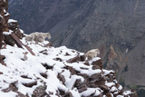 Mountain Goats Resting on North Maroon Peak in Winter