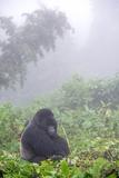 Mountain Gorilla  Gorilla Beringei Beringei  Resting in Misty Forest