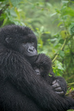 Mountain Gorilla  Gorilla Beringei Beringei  with its Young
