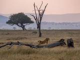 A Lioness  Panthera Leo  Stretching on a Fallen Tree Trunk