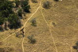 An Aerial of Two Giraffes  Giraffa Camelopardali  Standing on a Path