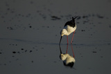 A Black-Winged Stilt  Himantopus Himantopus  Foraging in the Water
