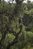 An Eastern Hoolock Gibbon in Gaoligong Mountains National Nature Reserve  China