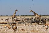 A Group of Animals at the Watering Hole  Giraffe  Springbok  Gemsbok and Zebra
