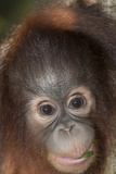 An Infant Bornean Orangutan  Pongo Pygmaeus  in Sabah