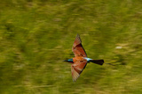 A Southern Carmine Bee-Eater  Merops Nubicoides  in Flight