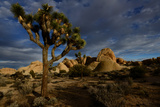 Joshua Tree and Rock Formation in Desert in Joshua Tree National Park