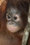 Close Up of a Bornean Orangutan  Pongo Pygmaeus