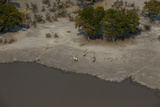 A Herd of Giraffe  Giraffa Camelopardalis  at the Water's Edge