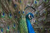 Portrait of Male Peacock  Pavo Muticus