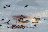 Grey Wolf and Flock of Common Raven Feeding on Elk Carcass in Snow