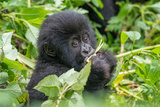 A Young Mountain Gorilla  Gorilla Beringei Beringei  Eating Leaves of Plants
