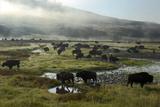 A Herd of Bison in Yellowstone National Park's Hayden Valley