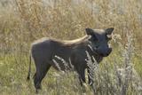 Warthog  Upper Vumbura Plains  Botswana