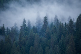 Morning Fog Rises Off of a Spruce  Picea  Forest in Alaska's Inside Passage