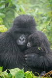 Portrait of Mountain Gorilla  Gorilla Beringei Beringei  with its Young