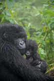 Mountain Gorilla  Gorilla Beringei Beringei  Embracing its Young