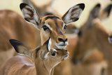 Portrait of a Female Impala with its Calf  Aepyceros Melampus
