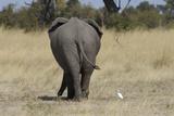 A White Bird Next to an Elephant  Upper Vumbura Plains  Botswana