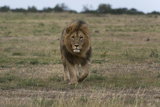 A Male Lion  Panthera Leo  Walking at Masai Mara National Reserve