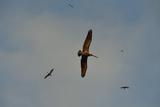 Brown Pelicans  Pelecanus Occidentalis  Soar Against a Blue Sky in Panama