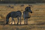 Two Zebras  Selinda Camp  Botswana
