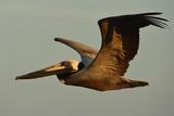 A Brown Pelican  Pelecanus Occidentalis  Soaring Against a Warm Blue Sky in Panama