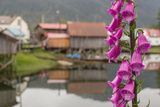 Foxgloves  Digitalis  Flowers Bloom in Front of an Alaskan Fishing Village