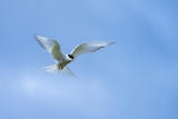 An Arctic Tern in Flight Above Vigur Island  Isafjordur Bay