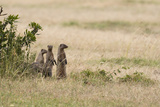Banded Mongooses  Mungos Mungos  Standing on their Hind Feet