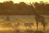 Zebras  and Giraffe  Selinda Camp  Botswana