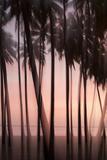 The Pink Light of Sunset Illuminate Palms in the Kapuaiwa Coconut Grove  Molokai  Hawaii