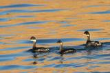 Three Black Neck Grebes Swimming at Sunset at Ensenada Grande
