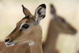 Portrait of an Impala Calf  Aepyceros Melampus