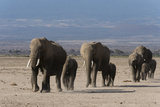 Herd of an African Elephants  Loxodonta Africana  Walking in the Plains of Amboseli
