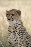 Portrait of a Cheetah  Acinonyx Jubatus