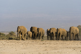 Herd of African Elephants Walking in the Plains of Amboseli National Park