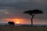 Silhouette of an African Elephants  Loxodonta Africana  Walking at Sunset