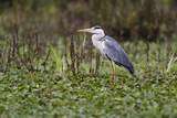 Portrait of a Grey Heron  Ardea Cinerea  Standing on a Lake Shore