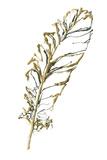 Gilded Turkey Feather I