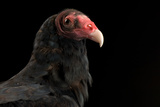 A Portrait of a Turkey Vulture (Cathartes Aura)