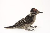 A Nuttall's Woodpecker  Picoides Nuttallii  at the Wildlife Center of Silicon Valley