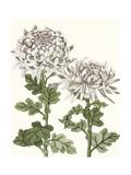 Early Spring Chrysanthemums II Reproduction d'art par Naomi McCavitt