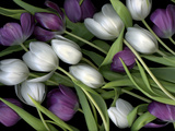 Medley of Beautiful Fresh White and Purple Tulips