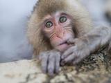 Japanese Snow Monkeys Bathing in Hot Spring Pools at Jigokudani Onsen  Nagano Prefecture  Japan