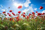 A Large Field of Poppies Near Newark in Nottinghamshire  England Uk