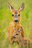 Roe Deer (Capreolus Capreolus)  Doe with Fawn  Germany  Brandenburg