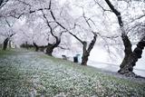 Washington DC - Petals Falling of the Cherry Blossoms