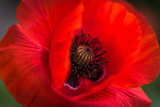 Red Poppy and Bud - Field Flower - Macro